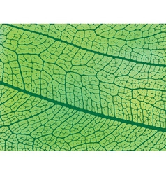 Structure of a leaf vector image