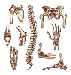 bone and joint of human skeleton sketch set vector image