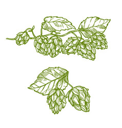 hops plant sketch for food and drinks design vector image