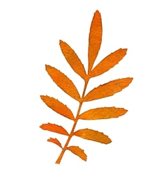 Autumn watercolor rowan leaf vector image vector image