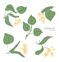Beautiful detailed botanical drawings of linden vector