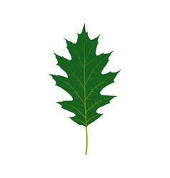 Pointed green oak leaf on a white background vector