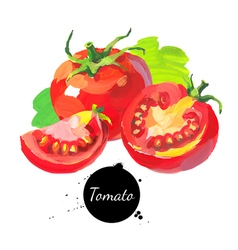 Tomato set Hand drawn sketch watercolor acrylic vector image