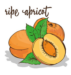 apricot is hand-painted vector image