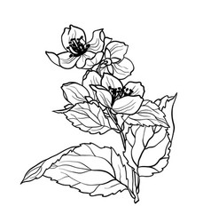 coloring page with jasmine branch in vcector vector image