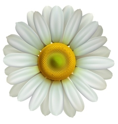 Chamomile flower Eps10 vector image