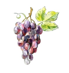 picture of Red grapes vector image