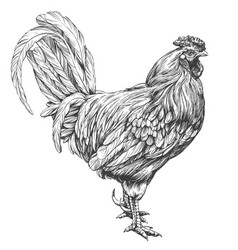 rooster chicken hand drawn vector image