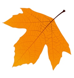 Sycamore Autumn Leaf vector image vector image