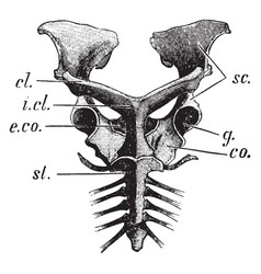Echidna pectoral girdle vintage vector