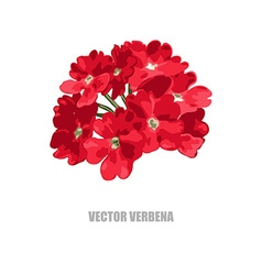 hand drawn verbena vector image
