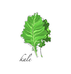 Kale fresh culinary plant green seasoning cooking vector
