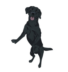 Black labrador dog jumping trained puppy for your vector