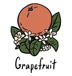 Grapefruit vector