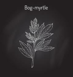Bog-myrtle myrica gale or sweetgale medicinal vector
