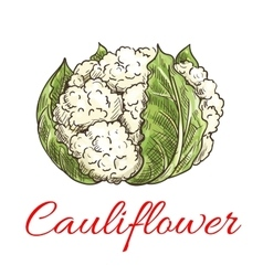 Cauliflower vegetable icon vector image