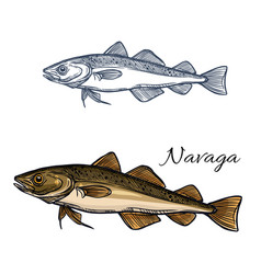 Sea fish navaga isolated sketch for food design vector