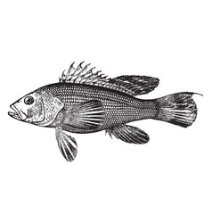 Sea bass vintage vector