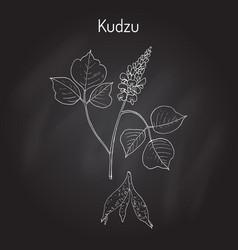 kudzu pueraria montana medicinal plant vector image