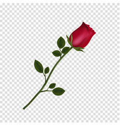 highly detailed flower of red rose isolated on vector image