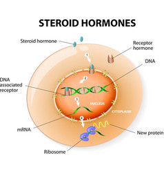 steroid hormones vector image