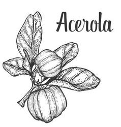 Acerola Plant vector image