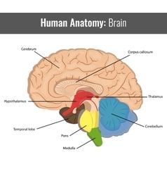 Human Brain detailed anatomy Medical vector image