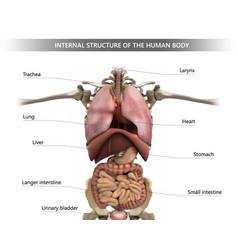 Internal structure human body vector