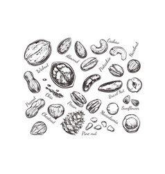 Nuts and seeds collection hand drawn vector