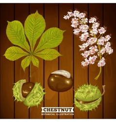 Chestnut Autumn Botanical vector