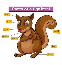 Diagram showing different parts of squirrel vector image