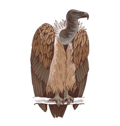 Griffon vulture on a white background vector