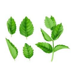 mint leaves menthol spearmint fresh smell nature vector image