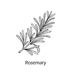 Rosemary spice and medical herb vector