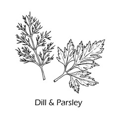 Dill and parsley culinary and aromatic herbs vector