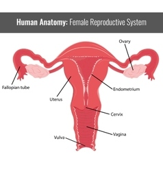Female reproductive system detailed anatomy vector