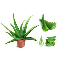 Realistic aloe plant aloe vera medicine potted vector