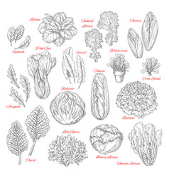 sketch icons of salad leafy vegetables vector image