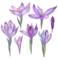 crocus flowers isolated on white for romantic and vector image