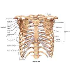 Ribcage anterior view vector image