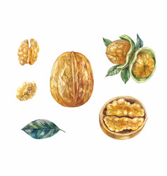 Set of watercolor walnuts whole and half in vector