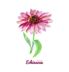 Watercolor medicinal flower of echinacea vector
