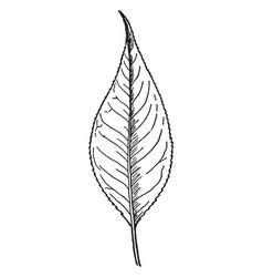 Almondleaf willow leaf vintage vector