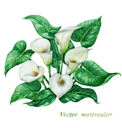 Calla watercolor vector