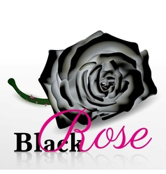 black rose on white background vector image vector image