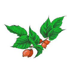 Hip rose buds berry and branches vintage vector
