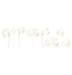 decorative line golden clivia amaryllis branch vector image