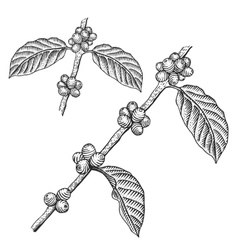 Engraving coffee branch vector image