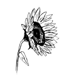 Hand sketch sunflower sketch vector
