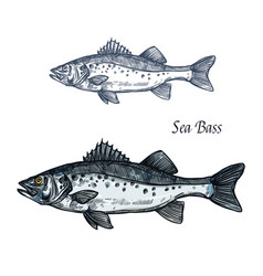 Sea bass fish isolated sketch for seafood design vector